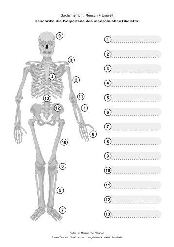 Das menschliche Skelett im Sachunterricht - Grundschulstoff