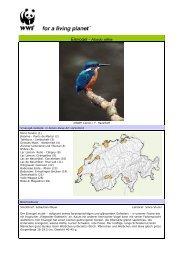 Eisvogel - Alcedo atthis - WWF Schweiz