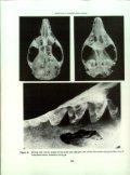 Pseudantechinus mimulus (Thomas, 1906) (Marsupialia: Dasyuridae) - Page 6