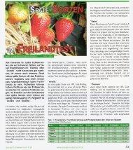 Das Interesse für späte Erdbeersor - Fragaria Holland