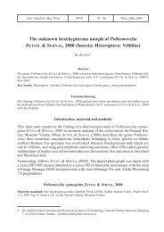 The unknown brachypterous morph of Polhemovelia ZETTEL ...