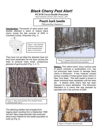 Peach Bark Beetle in Cherry