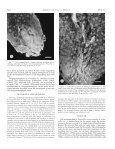 megagametophyte development in potentilla nivea (rosaceae) - Page 3