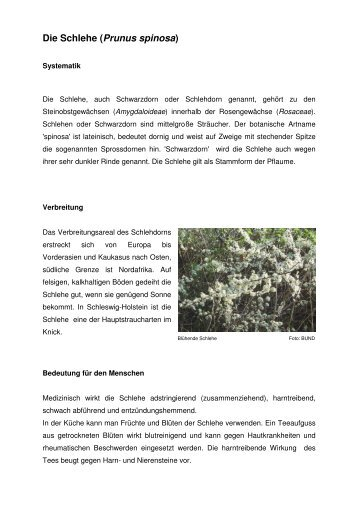 Die Schlehe (Prunus spinosa) - BUND