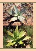 Aloe reitzii var. reitzii - FGaS - Page 7