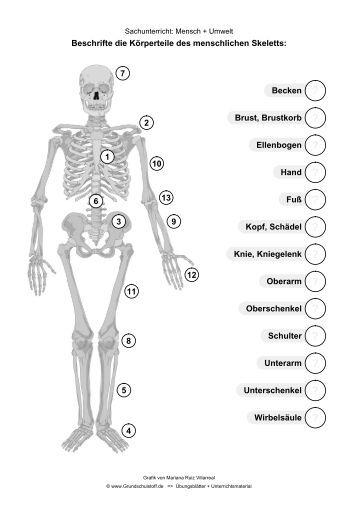 das menschliche skelett im sachunterricht grundschulstoff. Black Bedroom Furniture Sets. Home Design Ideas