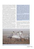 Winter 2012/13 – Seidenschwänze, Samtenten und Singschwäne - Page 4
