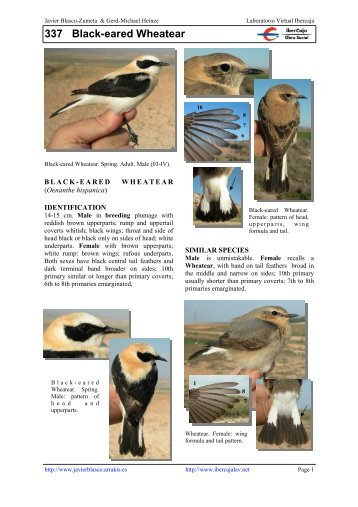 337 Black-eared Wheatear - Laboratorio Virtual Ibercaja