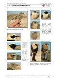 337 Black-eared Wheatear - Laboratorio Virtual Ibercaja - Page 6