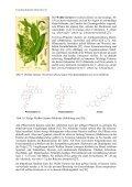 Kulturgeschichtliches zur Pflanzenordnung Lilienartige ... - GTFCh - Page 6