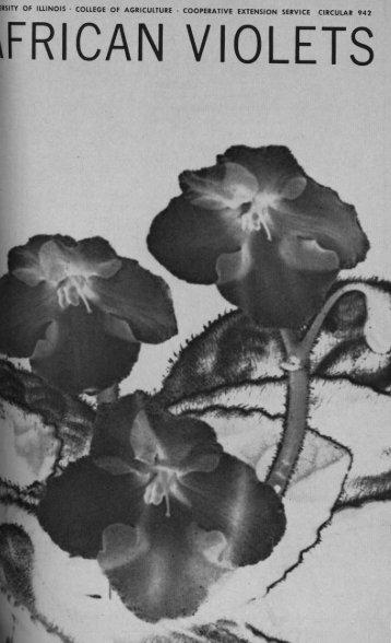 african violets - ideals