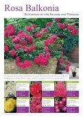 Erlesene Rosen und Begleitpflanzen Jetzt ist ... - Kordes Rosen - Seite 4