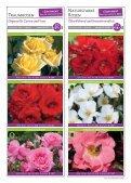 Erlesene Rosen und Begleitpflanzen Jetzt ist ... - Kordes Rosen - Seite 7