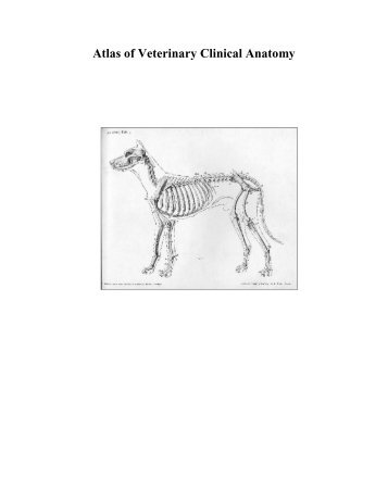 and buffalo (Bos bubalis) - journal of veterinary anatomy