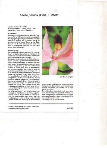 Laelia perrinii (Lindl.) Batem - P & P Orchids