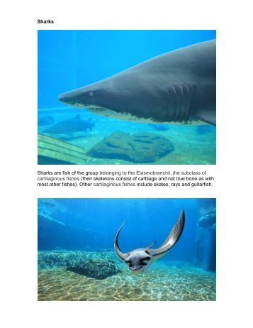 Sharks Sharks are fish of the group belonging to the Elasmobranchii ...