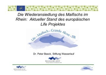 Die Wiederansiedlung des Maifischs im Rhein - Wanderfische