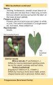 Wild buckwheat - Page 2
