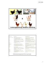 Lp Zuechtung Henne Broiler