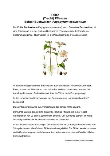 Teil67 (Tracht) Pflanzen Echter Buchweizen Fagopyrum esculentum