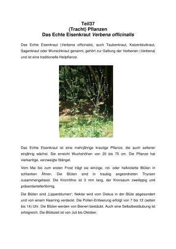 Teil37 (Tracht) Pflanzen Das Echte Eisenkraut Verbena officinalis