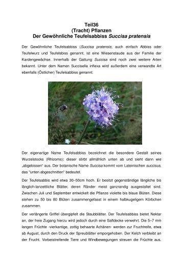 (Tracht) Pflanzen Der Gewöhnliche Teufelsabbiss Succisa pratensis