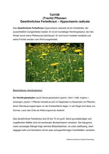 (Tracht) Pflanzen Gewöhnliches Ferkelkraut – Hypochaeris radicata
