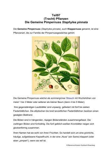 Teil97 (Tracht) Pflanzen Die Gemeine Pimpernuss Staphylea pinnata