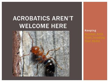Acrobatics Aren't Welcome Here – Keeping Acrobat Ants from Invading Your Home