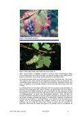 Vitis vinifera subsp. sylvestris - Université de Neuchâtel - Page 4