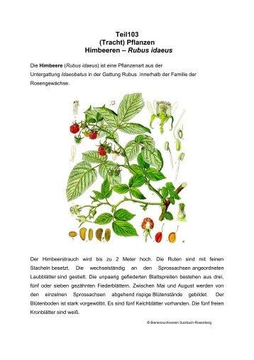 Teil103 (Tracht) Pflanzen Himbeeren – Rubus idaeus