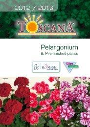 Pelargonium - BG-Flower