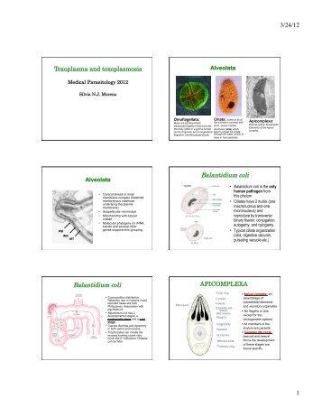 3/24/12 1 Balantidium coli Balantidium coli - Striepen.uga.edu
