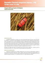 Buprestis (Yamina) sanguinea (Fabricius, 1798) - Ministerio de ...