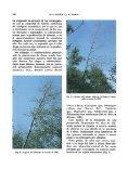 Exudaciones gomosas en alisos (Alnus glutinosa (L.) Gaertner ... - Page 2
