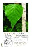 Birches, Hophornbean, Hornbeam, Alder, and Beech - Maine.gov - Page 5