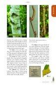 Birches, Hophornbean, Hornbeam, Alder, and Beech - Maine.gov - Page 6