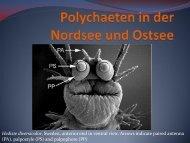 Polycheten in der Nordsee und Ostsee