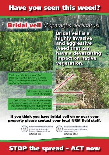 Bridal veil (Asparagus Declinatus)