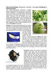 Artikel Walnussfruchtfliege2012 - Obstbau - in Rheinland-Pfalz