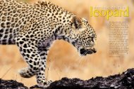 Return of the Leopard. - Panthera