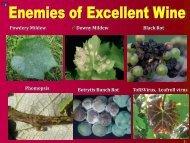 Black Rot, Downy Mildew - PA Wine Grape Growers Network