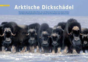 Arktische Dickschädel - Polar-Reisen.ch