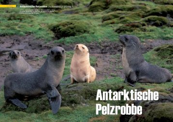 Antarktische Pelzrobbe (Arctocephalus gazella) - Polar-Reisen.ch