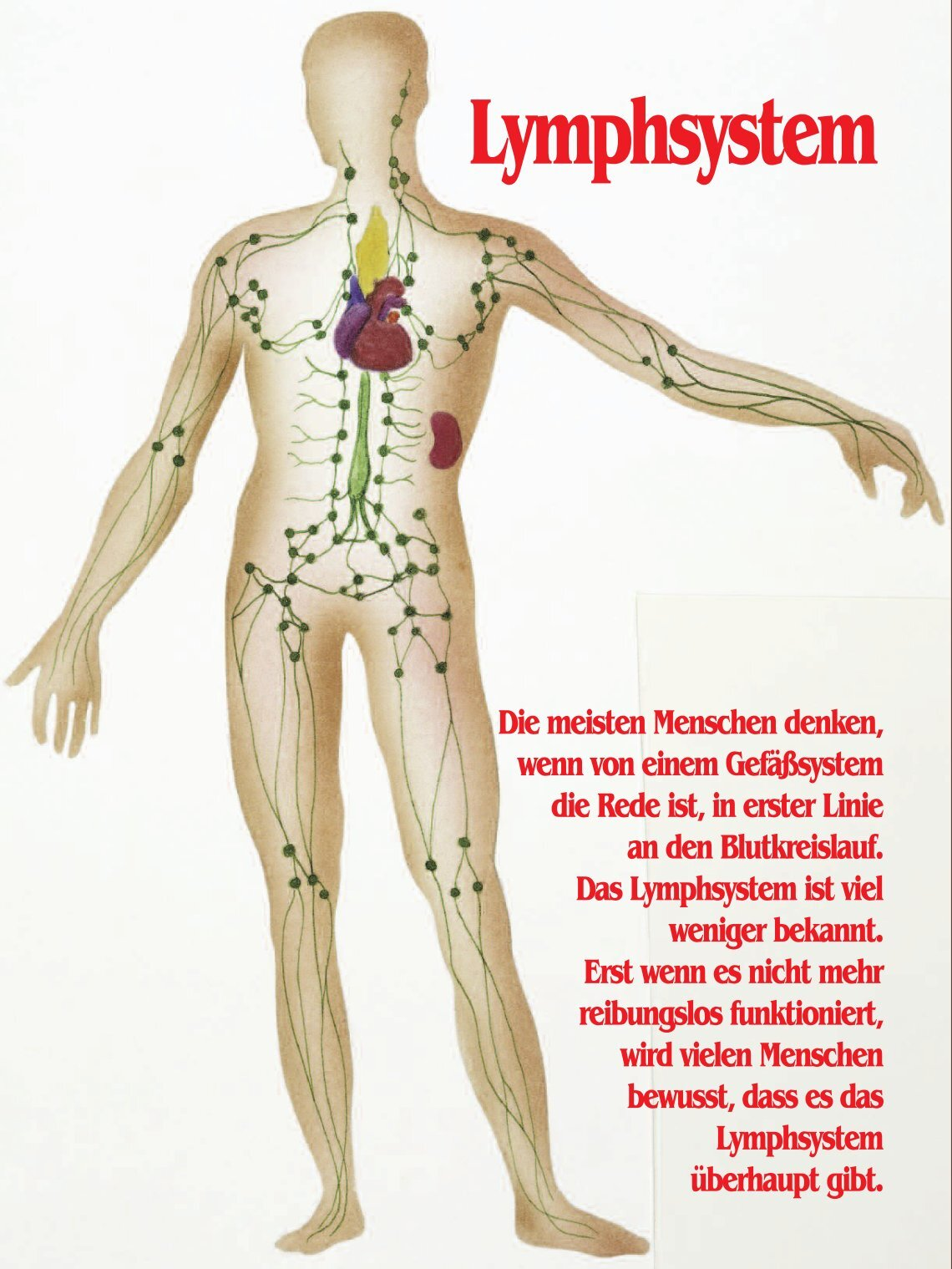 Fantastisch Lymphsystem Funktion Bilder - Physiologie Von ...