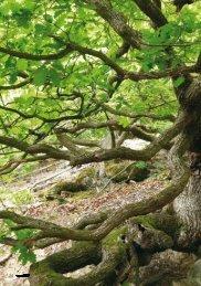 Baum des Jahres 2014 - Robin Wood