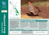 Grey partridge - RSPB