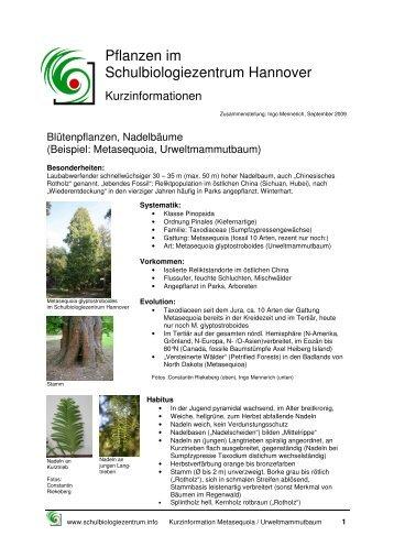 ah urweltmammutbaum metasequoia - Einkeimblattrige Pflanzen Beispiele