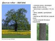 Quercus robur – dub letní