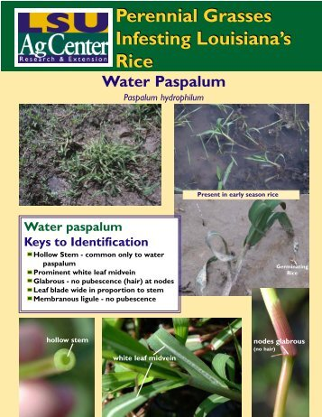 Perennial Grasses Infesting Louisiana's Rice Perennial Grasses ...